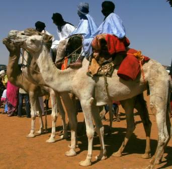 Camellos para carrera